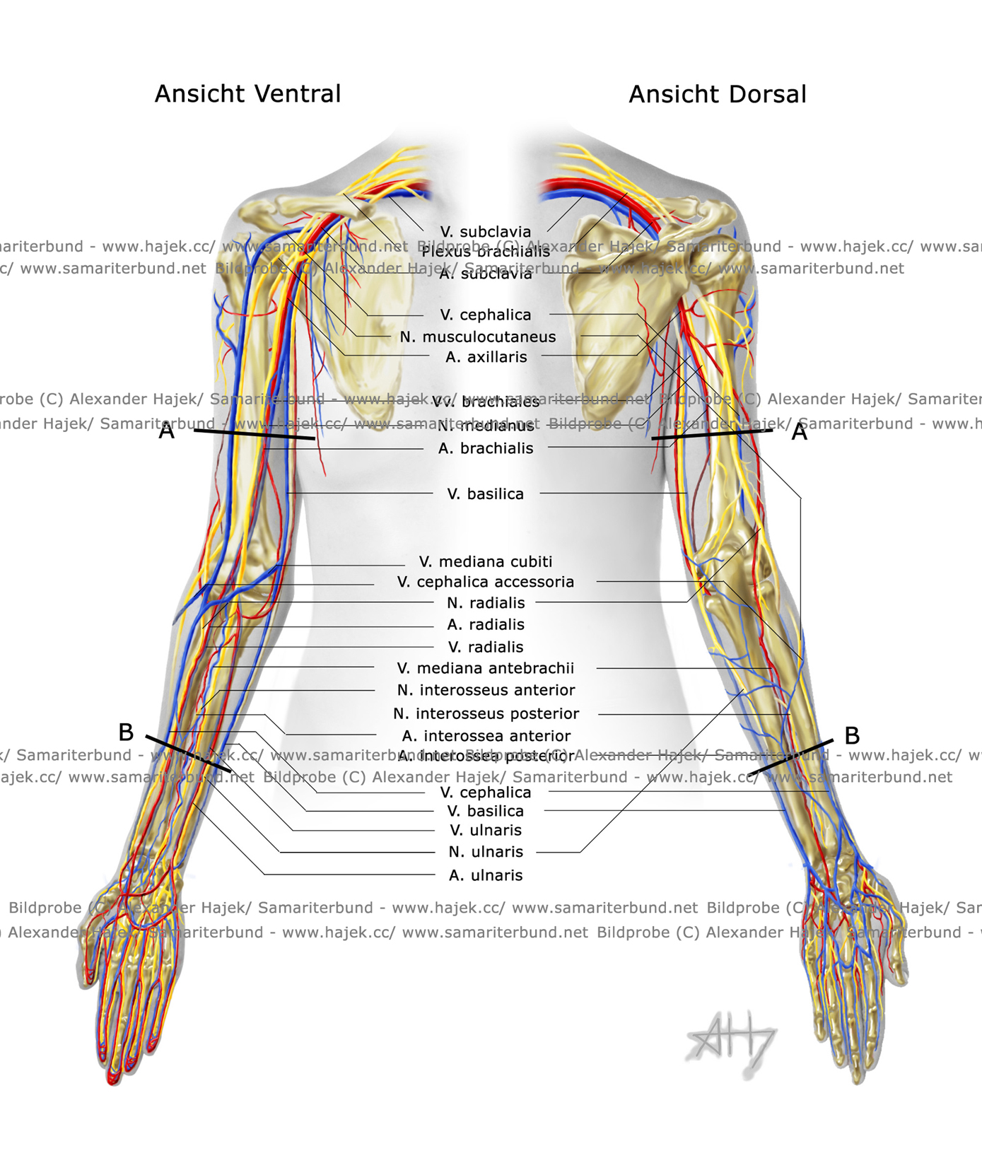 gallery of alexander hajek blood vessels and neural system of the upper extremities