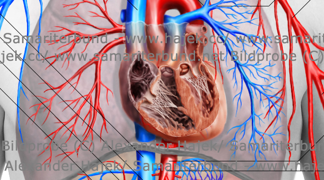 gallery of alexander hajek cardiovascular system detailed view 1